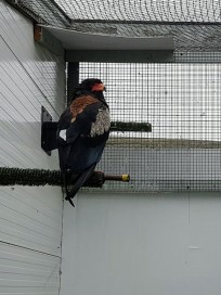 Batty the Bateleur Eagle