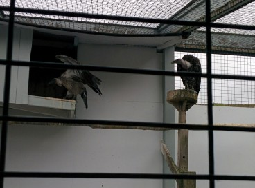 Two vultures named Henry and Dyson