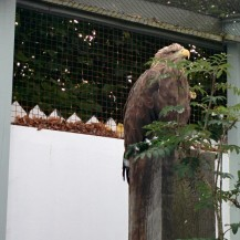 Sika the White Tailed Eagle