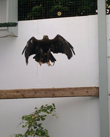 Vladimir the Steppe Eagle