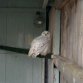 Jon Snow (Owl)